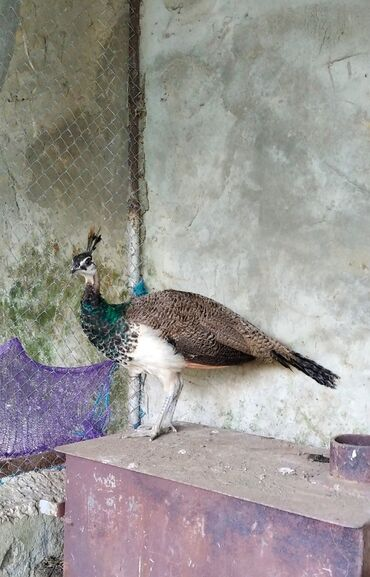 Животные - Ленкорань: Tovuz quşu 250 azn