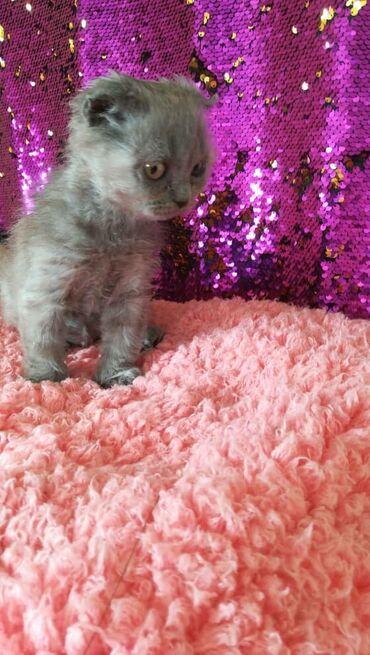 Коты - Кыргызстан: Котят Скотишь Фолд. Скотишь Страйт. 3 месяца