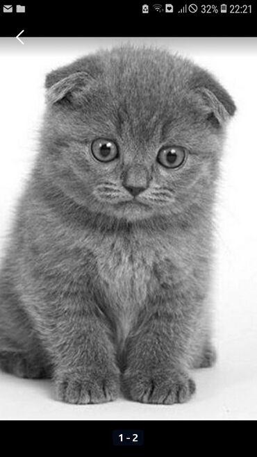 Куплю котёнка шотландской породы скоттиш фолд. Город ош. А если есть