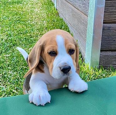 Very sweet and cute Beagle puppies available for rehoming 12 weeks old