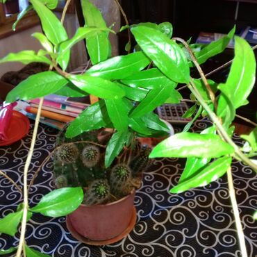 Otaq bitkiləri - Azərbaycan: KAKTUS 15 İLLİK BÖYÜK  VƏ BALACA NAR AĞACI ÇƏYİRDƏKDƏN ƏKİLMİŞ  CIRTDA