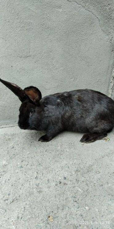 Декоративные кролики - Кыргызстан: Самки,возраст 7 мес.Вес от 5,5 до 6,5кг.Цена окончательная.Кара-Балта