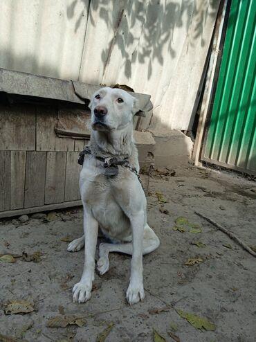 15 объявлений | ЖИВОТНЫЕ: Отдаю даром собаку алабая(так как больше не нуждаюсь в собаке) В