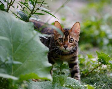Животные - Новопавловка: Бенгал, бенгальские котята, осталась одна девочка и один мальчик