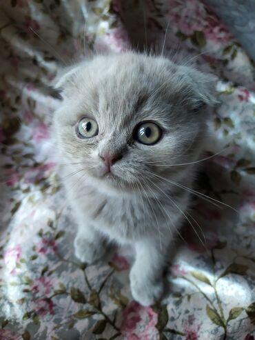 Продаются чистокровные шотландские котята голубого и лилового цвета