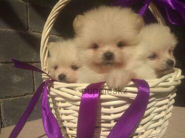 собаки сколько стоит в Кыргызстан: Шпиц. Предлагаю к продаже прекрасных щенков. Кремового окраса