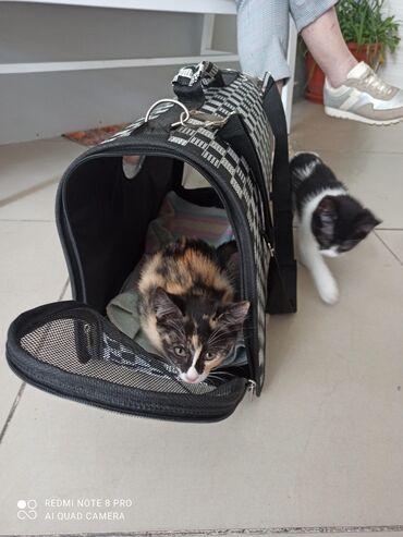 skidki na futbolki в Кыргызстан: Отдам котят в хорошие руки #котята#кошки#коты#котики#кот#