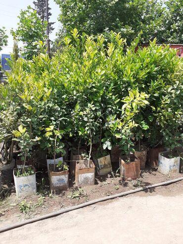 Limon ağacları.Bakıyada sifarişler çatdırılır