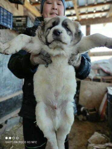 продажа щенков алабая в Кыргызстан: Продаются щенки Алабая Бойцовых кровей. Чистокровные
