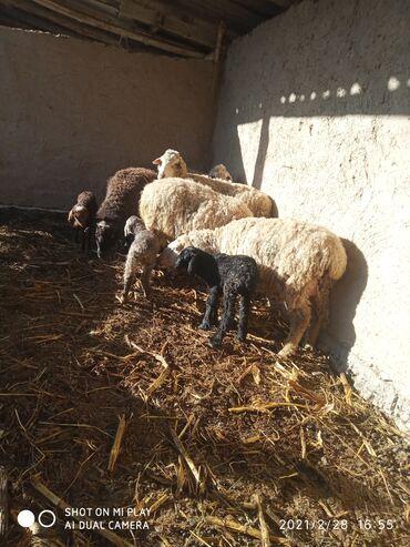 Продаю | Овца (самка) | Меринос