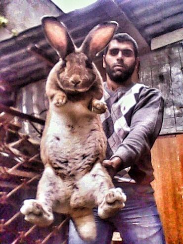 Bakı şəhərində Velikan dovşanlar sortu rizen satışda 1-2 aylıq balalardi qiyməti