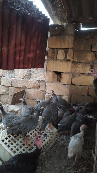 25 elan | HEYVANLAR: Salam .5 aylıq Firəng çolpaları satılır.Çöl şəraitində böyümüş