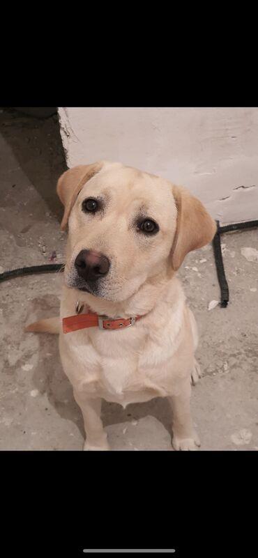 Labrador erkek9 ayliq tecili satilir 300 azn