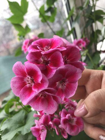 Комнатные растения - Кыргызстан: Ухоженные комнатные цветы цены и выше, в наличии семена и сеянцы