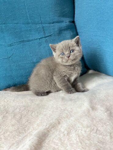 Βρετανικά Shorthair Kittens ColourpointViber (+)Έχουμε 5 όμορφα