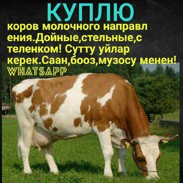 Сутту уйларды сатып алам.Саан,бооз,музосу менен!куплю коров молочного