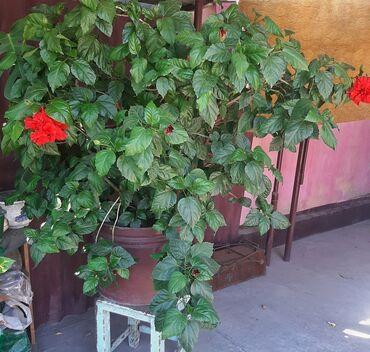 673 объявлений: Гибискус. Китайская роза огромное растение, цветущее круглый год