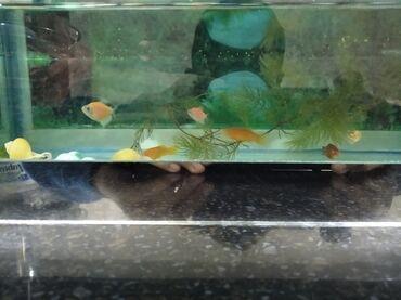 105 объявлений   ЖИВОТНЫЕ: Продаю аквариумный рыбы. 10 каплект фильтр температура идёт фанарик