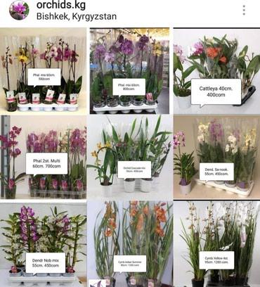 Мир орхидей в Бишкеке. Поступление каждую неделю. в Бишкек
