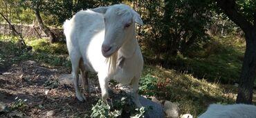36 объявлений   ЖИВОТНЫЕ: Продаю   Коза (самка)   Зааненская   Для молока