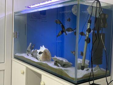balıq ovu - Azərbaycan: Bir metrelik akvarium onluq wuwe ile altinin aq qalin wkafi daxili aq