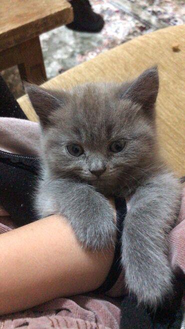 Продаётся котёнок Скотиш Страйт дымчатого окраса. Чистокровная