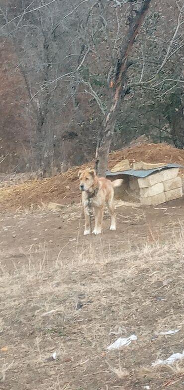 Животные - Кедабек: Dişidi