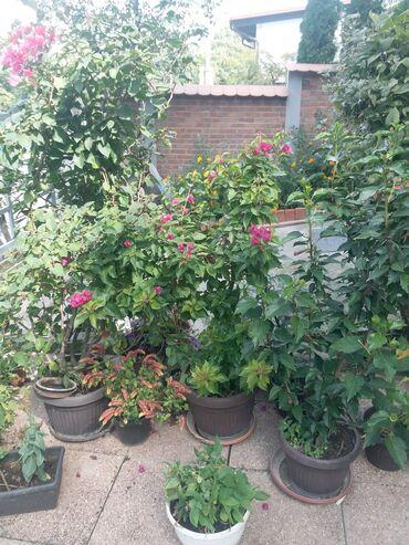 Fly iq235 uno - Srbija: Bogumile,roze,ljybicasto,lila,pink,cetiri boje.mnogo su mi velike