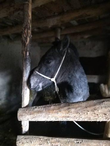 Продаю жирную кобылу (цена договорная) в Талассе в Бишкек