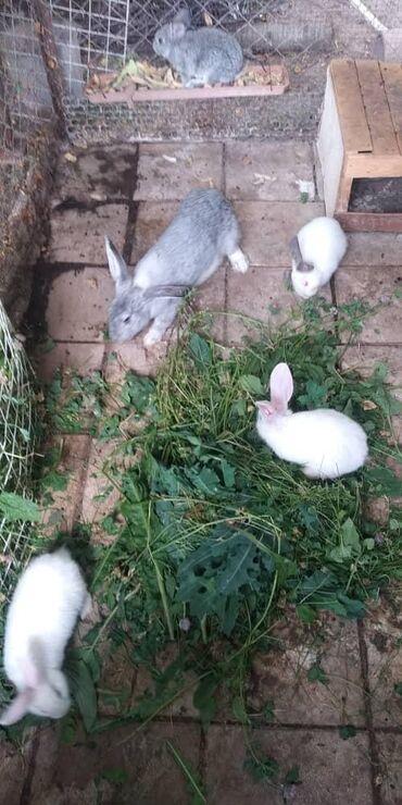 Продаю кроликов 1,5 месячные. Мама великан отец Новозеландец. Цена 4