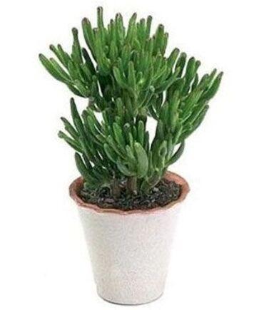 Otaq bitkiləri - Azərbaycan: Продаю цветок в новом горшке. Цветок вырастает до 110 см. Частый полив