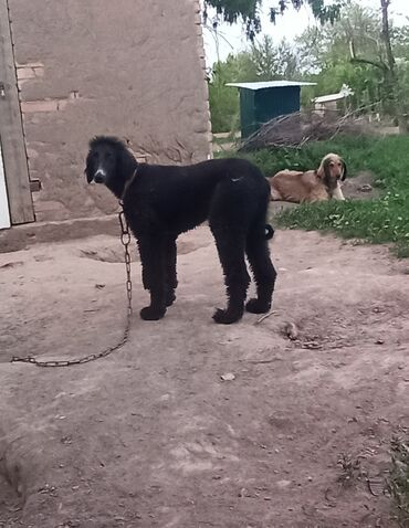 Собаки - Кыргызстан: Тайган чисто кровный 9 месяцев кабель