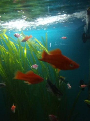Рыбки в розницу от 60с и выше зоомагазин сокулук в Сокулук