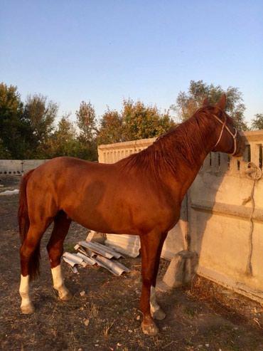 Продаю лошадь,полукровка,возраст 5 лет в Бишкек