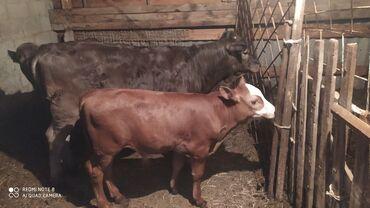 Животные - Алмалуу: Коровы, быки