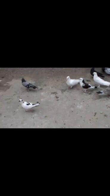 quwlar - Azərbaycan: Salam Satdig quwlar var 50 ye yaxndi hamisin alana qiymetde dansmaq ol
