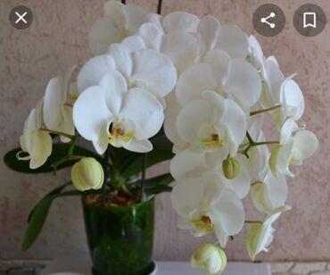 Возьму ВОЗЬМУ ВАМ НЕ НУЖНУЮ умирающую орхидея орхидею архидея архидею
