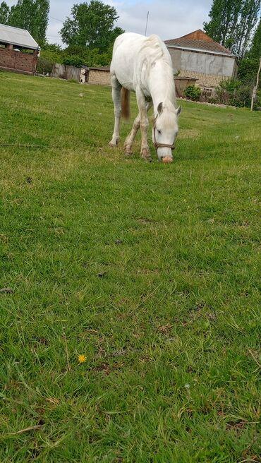 At temiz yorğadı super atı imkanım yoxdu deye satıram deyişmekde