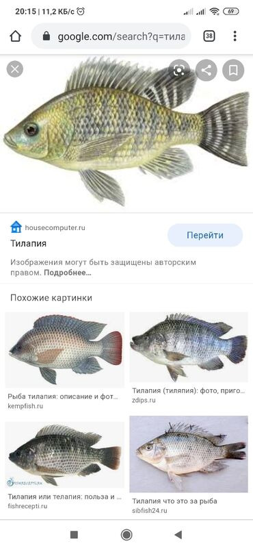 Продаю рыбы тилапия 1+1.2 кг только вацап
