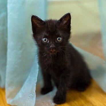 Находки, отдам даром - Ленинское: Отадам котят в добрые руки,2 месяца чисто черного цвета