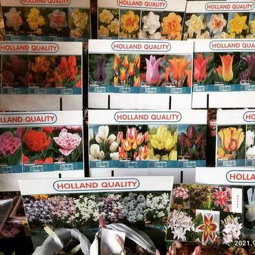1492 объявлений: Луковицы проф.тюльпанов, гиацинтов, нарциссов, крокусов. Всё по сортам