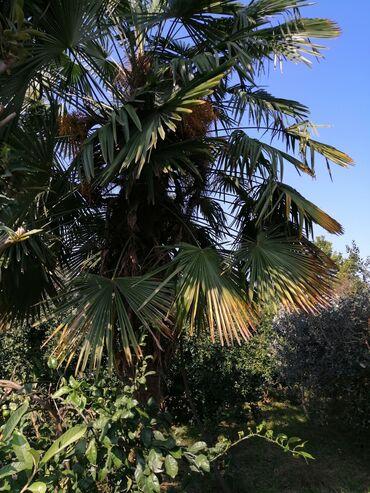 Otaq bitkiləri - Lənkəran: Palma ağacları 4-5 metirlik