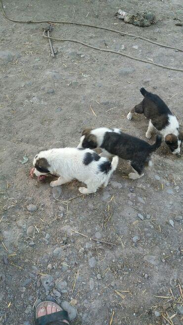 Продаю щенков алабая