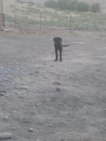 Собаки - Базар-Коргон: Собаки