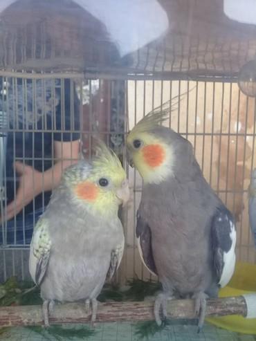 Продаю попугайчика с клеткой ( Корелла в Кара-Балта