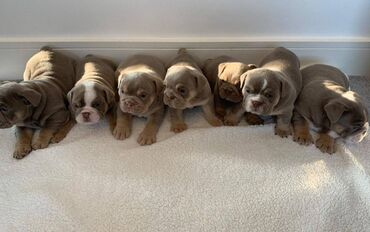 English Bulldog Pup 5* Homes(VIBER +) (whatsaap +)Εδώ έχω προς πώληση