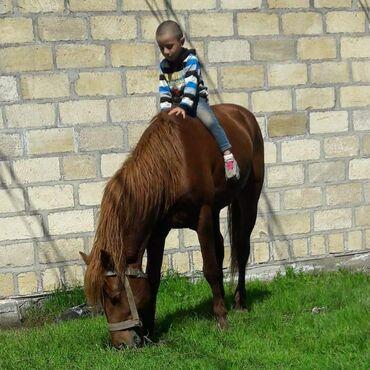 bmw-1-серия-118d-at - Azərbaycan: Bu at satılır 10000 AZN 4 yaşı var rəngi qızilı kürən boyu 1m 43 sm