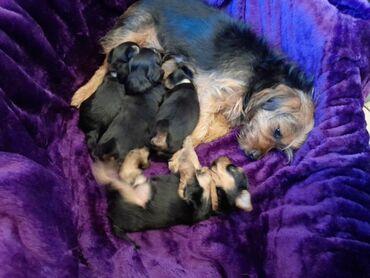 Υπέροχα κουτάβια yorkie προς πώληση Ο πανέμορφος σκύλος μου γέννησε όμ