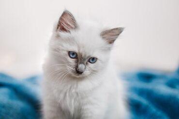 Отдам котёнка-мальчик- 4 месяца, глаза голубые, молочного цвета,пушист