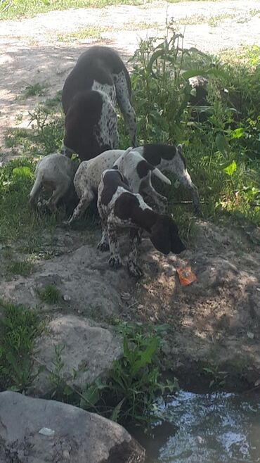 Животные - Араван: Курцхаар